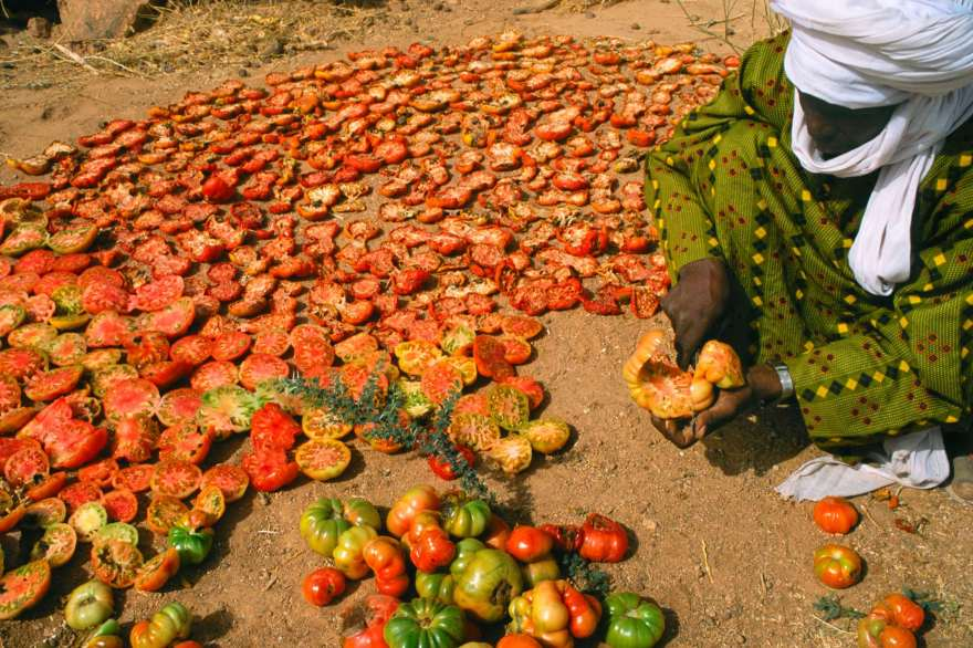 sun dried tomato harvest